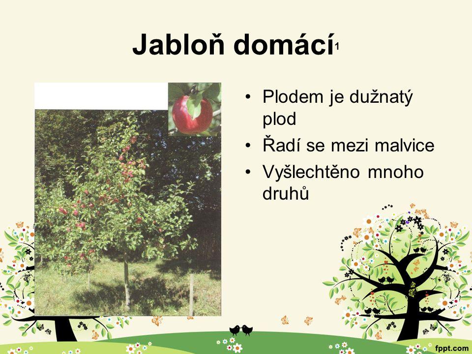 Třešeň ptačí 1 Plody řadíme mezi peckovice Vyšlechtěno mnoho odrůd odlišných barvou, chutí i velikostí Třešeň ptačí Třešeň tmavá Třešeň chrupka