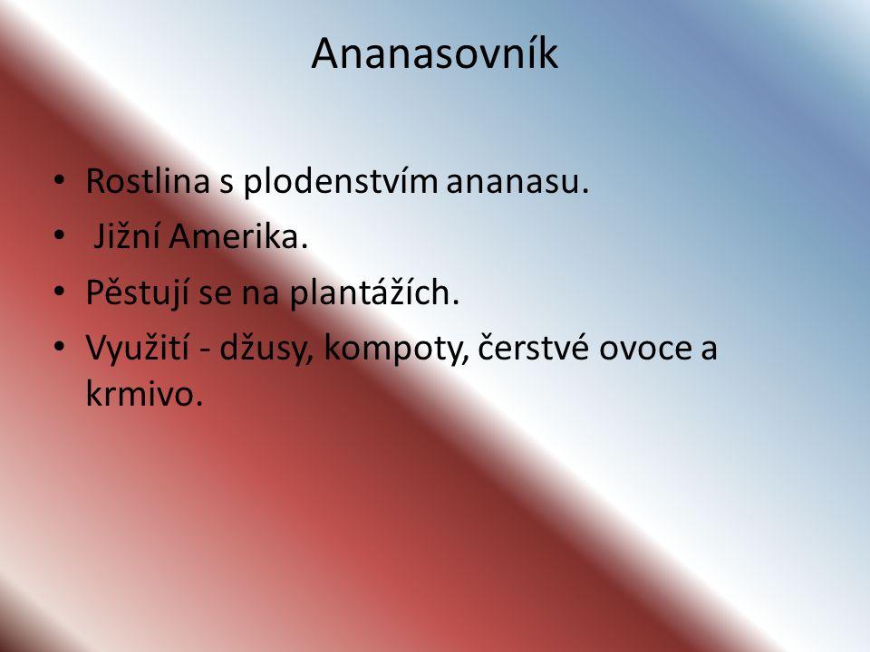 Ananasovník Rostlina s plodenstvím ananasu. Jižní Amerika.