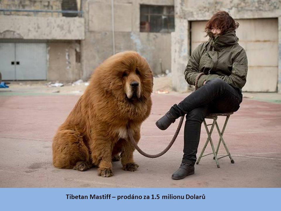 Tibetan Mastiff – prodáno za 1.5 milionu Dolarů