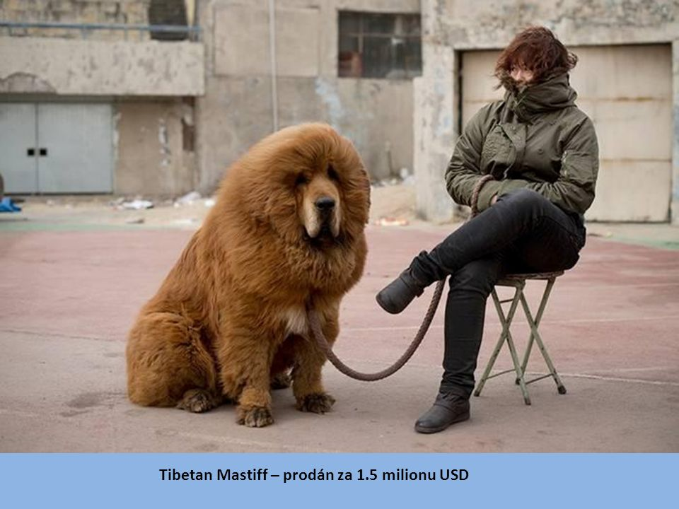 Tibetan Mastiff – prodán za 1.5 milionu USD