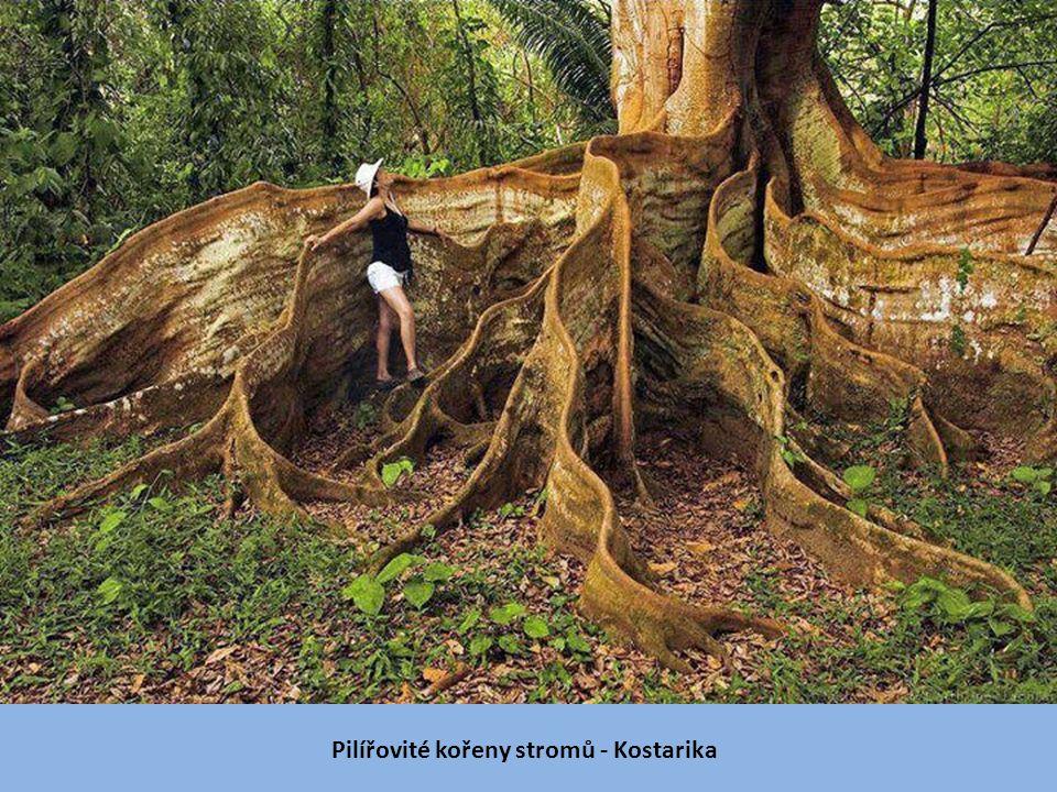 Pilířovité kořeny stromů - Kostarika