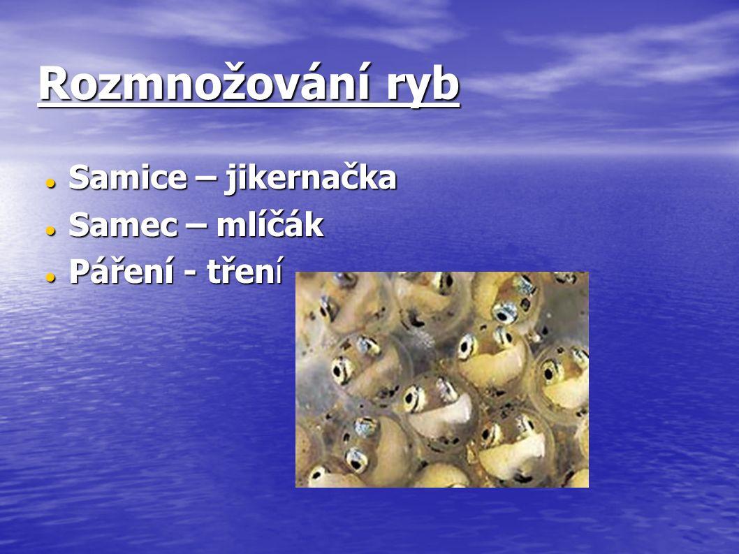 Rozmnožování ryb Samice – jikernačka Samice – jikernačka Samec – mlíčák Samec – mlíčák Páření - tření Páření - tření