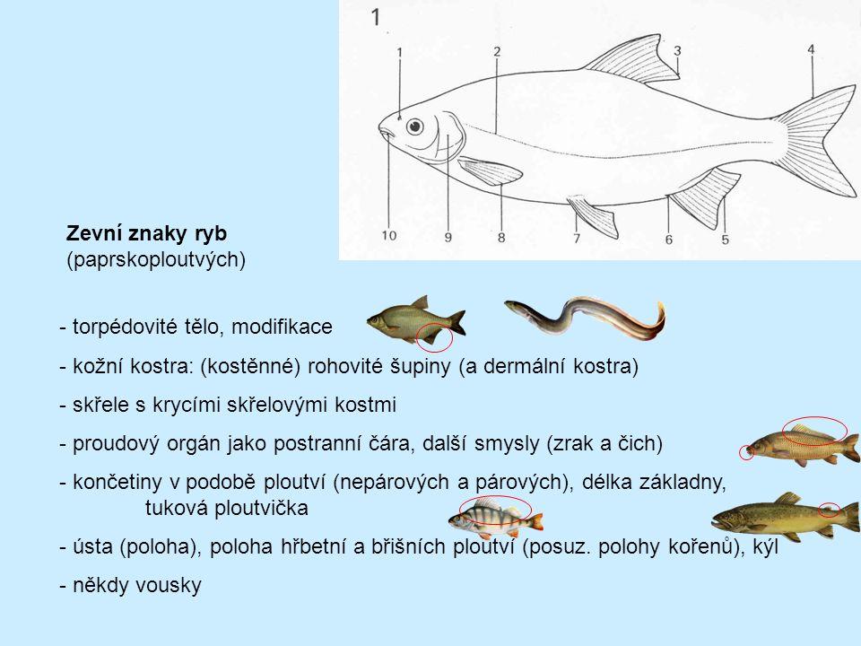Zevní znaky ryb (paprskoploutvých) - torpédovité tělo, modifikace - kožní kostra: (kostěnné) rohovité šupiny (a dermální kostra) - skřele s krycími sk