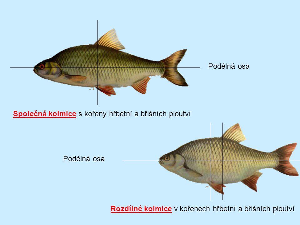 Vzorky ryb vybraných druhů Záznam determinační cesty.