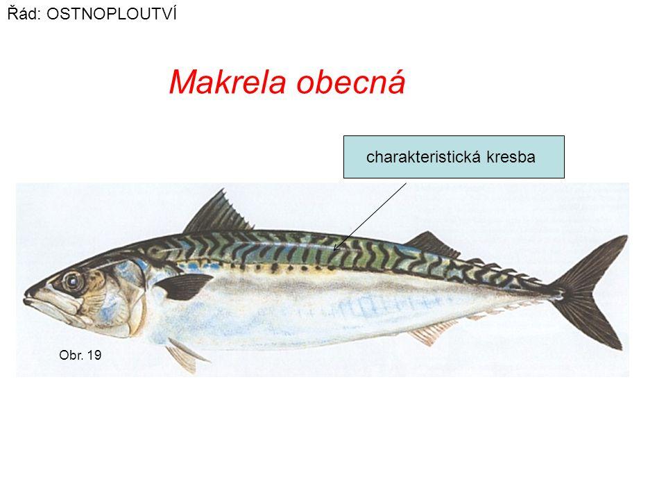 Obr. 19 Makrela obecná Řád: OSTNOPLOUTVÍ charakteristická kresba