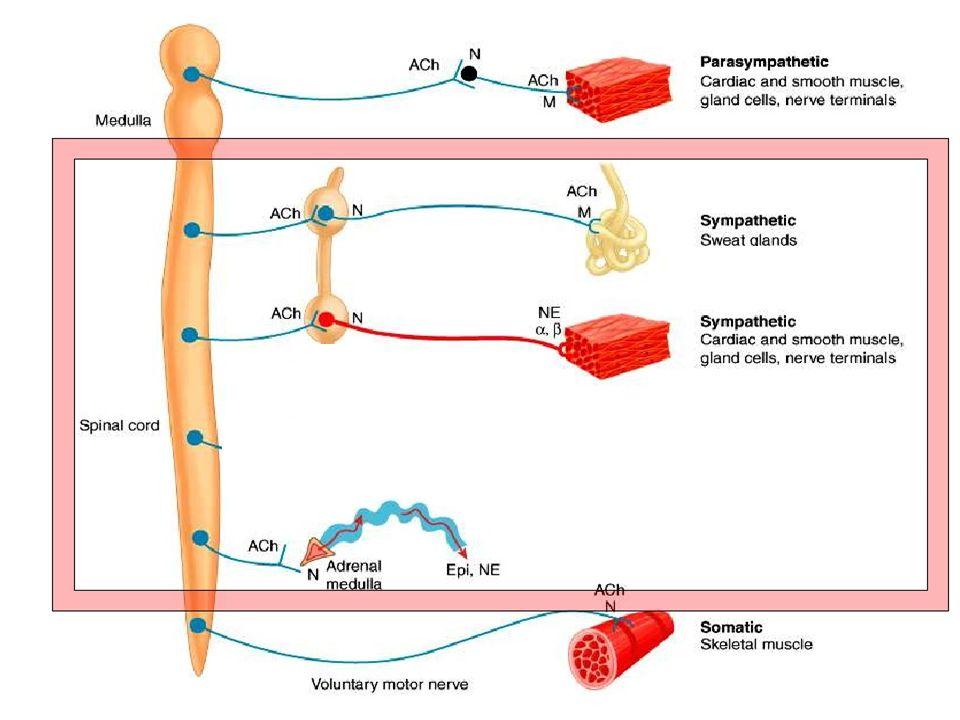 Působení na orgány (S) SRDCE HLADKÉ SVALSTVO CÉV PLÍCE GIT - UROGENITÁLNÍ TRAKT m.detrusor - relaxace(  2 ) sfinkter -kontrakce(  1 ) relaxace,  mo