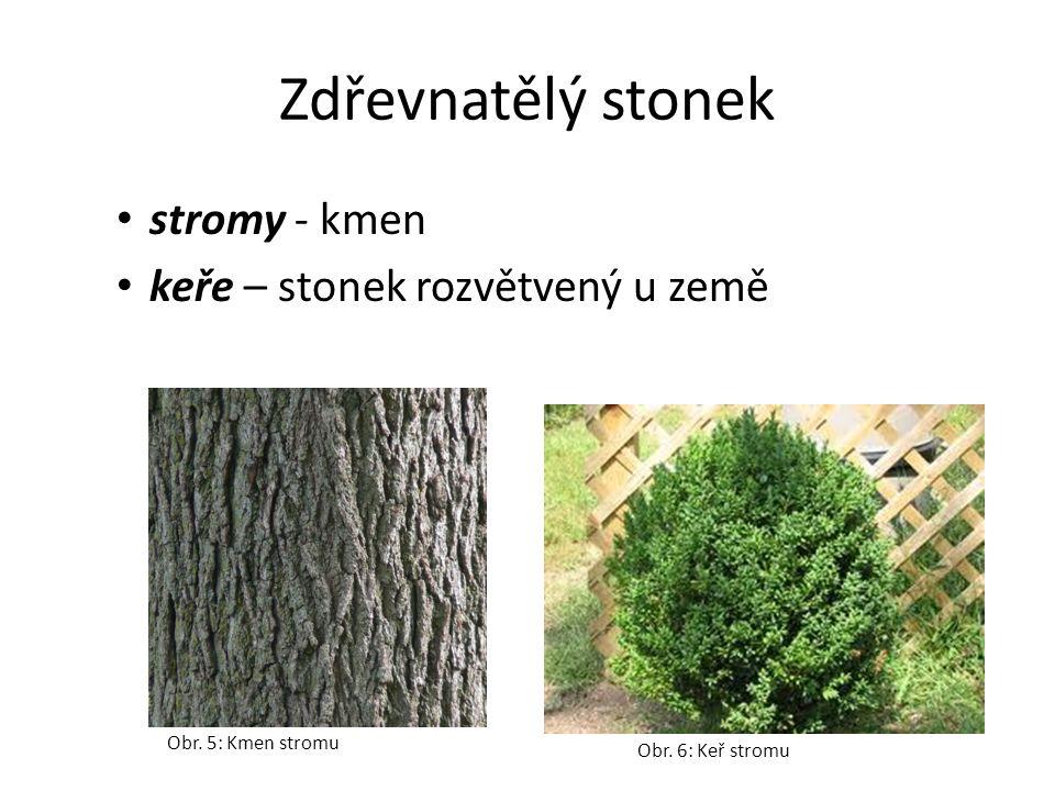 Dřevnatý stonek na povrchu borka pod kůrou cévní svazky - lýko a dřevo dřevo roste na jaře – letokruhy uprostřed stonku - dřeň Obr.