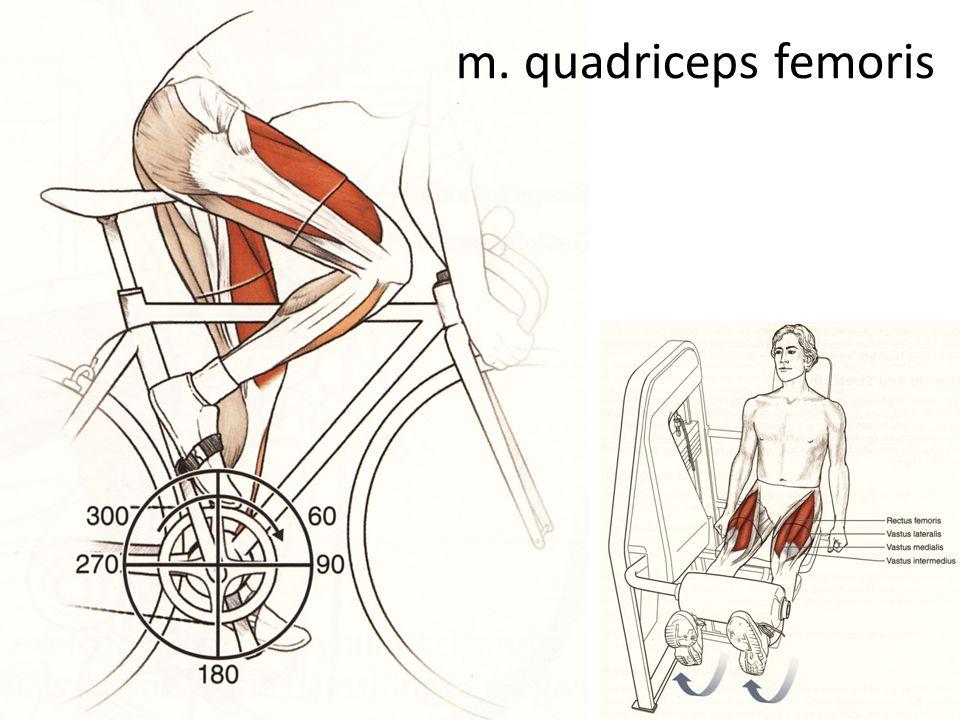 m. quadriceps femoris