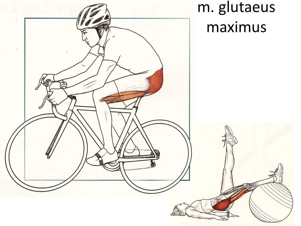 m. glutaeus maximus