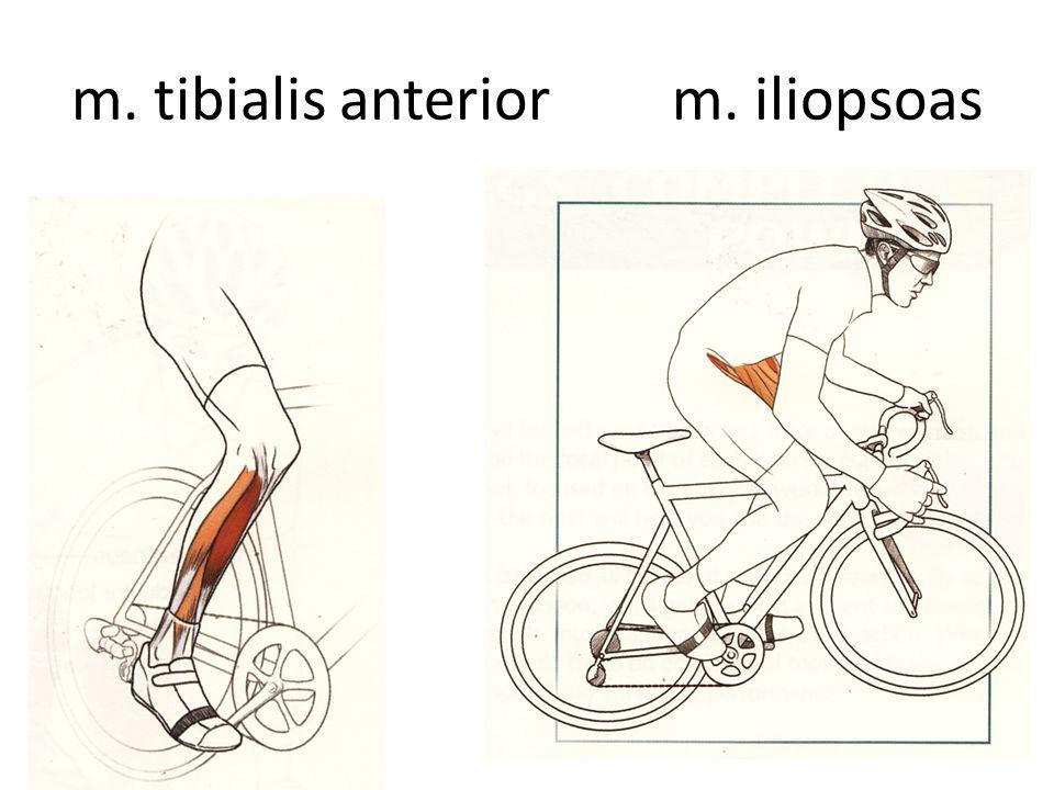 m. tibialis anterior m. iliopsoas