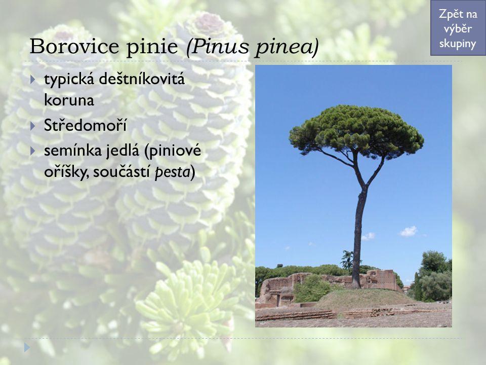 Borovice pinie (Pinus pinea)  typická deštníkovitá koruna  Středomoří  semínka jedlá (piniové oříšky, součástí pesta) Zpět na výběr skupiny