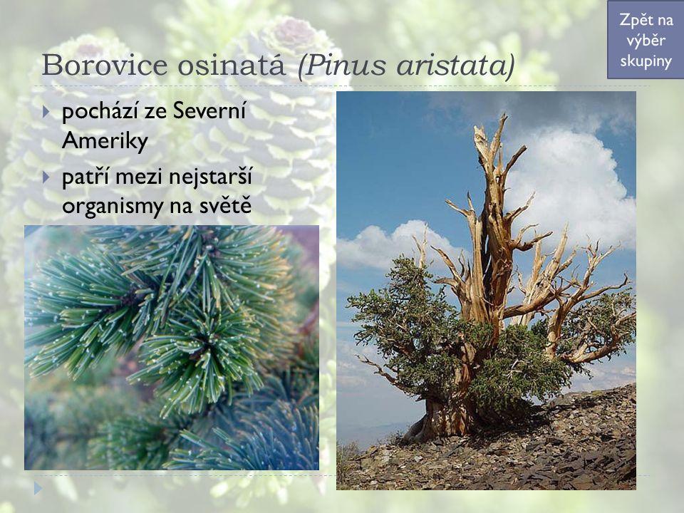 Borovice osinatá (Pinus aristata)  pochází ze Severní Ameriky  patří mezi nejstarší organismy na světě