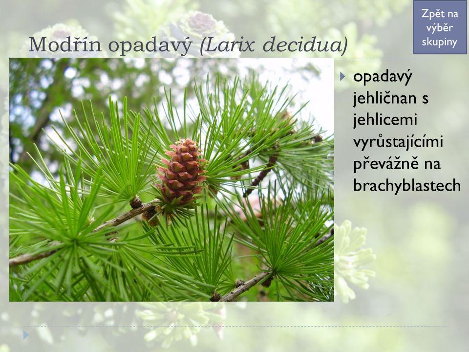 Modřín opadavý (Larix decidua)  opadavý jehličnan s jehlicemi vyrůstajícími převážně na brachyblastech