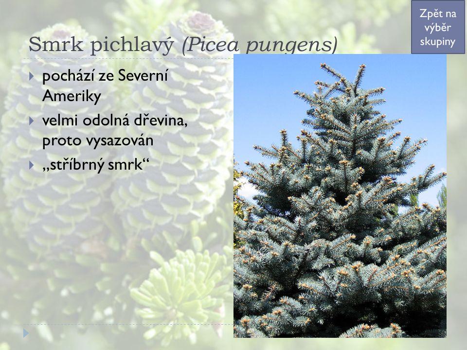 """Smrk pichlavý (Picea pungens)  pochází ze Severní Ameriky  velmi odolná dřevina, proto vysazován  """"stříbrný smrk"""""""