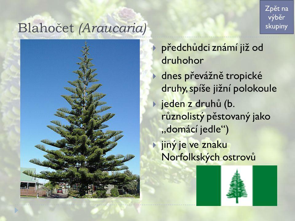 Blahočet (Araucaria)  předchůdci známí již od druhohor  dnes převážně tropické druhy, spíše jižní polokoule  jeden z druhů (b. různolistý pěstovaný