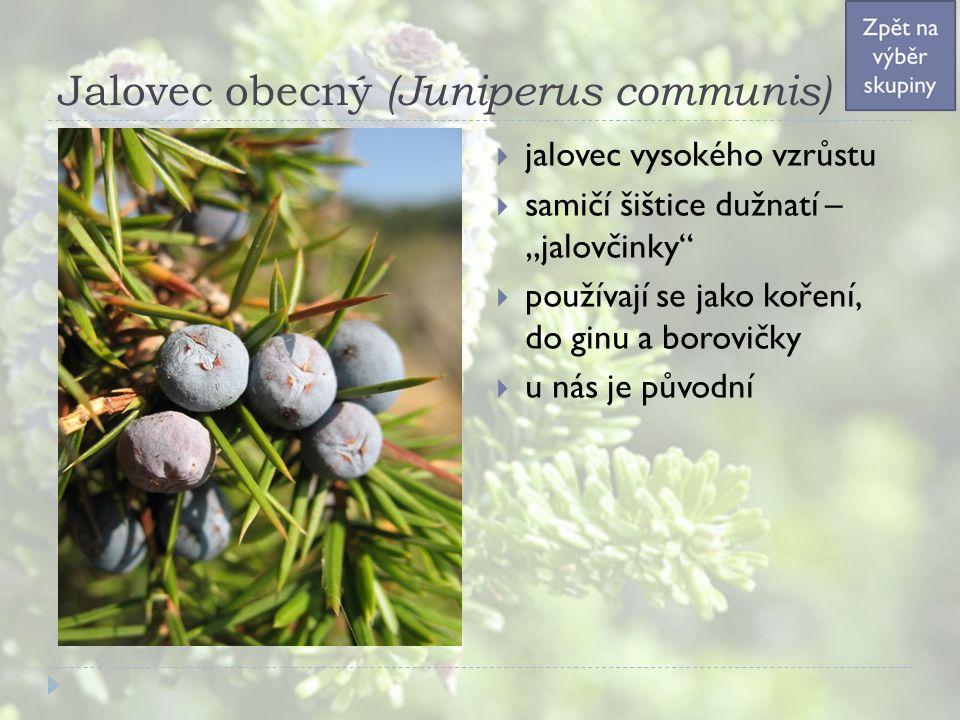 """Jalovec obecný (Juniperus communis)  jalovec vysokého vzrůstu  samičí šištice dužnatí – """"jalovčinky  používají se jako koření, do ginu a borovičky  u nás je původní"""