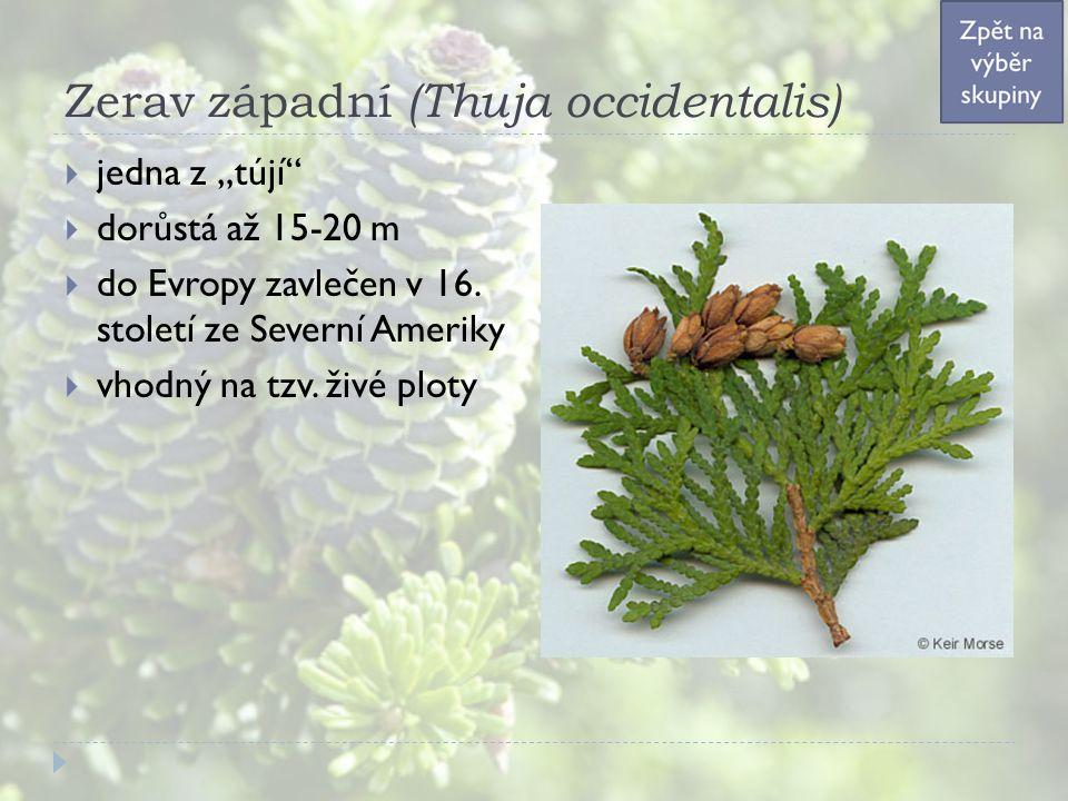 """Zerav západní (Thuja occidentalis)  jedna z """"tújí  dorůstá až 15-20 m  do Evropy zavlečen v 16."""