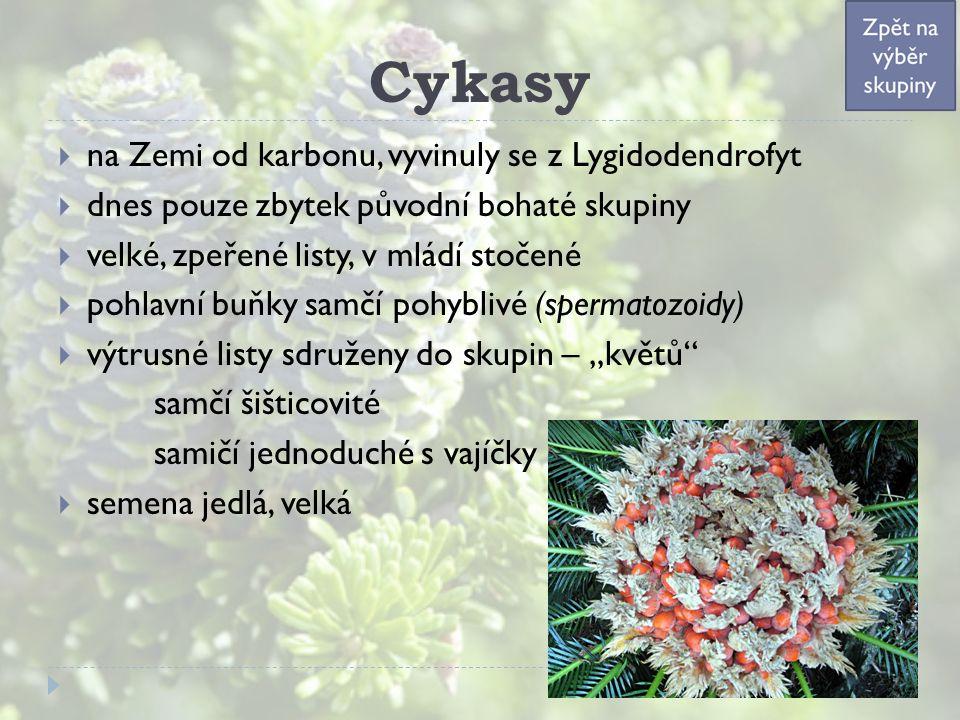"""Cykasy  na Zemi od karbonu, vyvinuly se z Lygidodendrofyt  dnes pouze zbytek původní bohaté skupiny  velké, zpeřené listy, v mládí stočené  pohlavní buňky samčí pohyblivé (spermatozoidy)  výtrusné listy sdruženy do skupin – """"květů samčí šišticovité samičí jednoduché s vajíčky  semena jedlá, velká"""