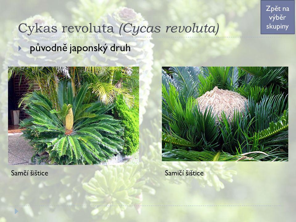 Cykas revoluta (Cycas revoluta)  původně japonský druh Samčí šišticeSamičí šištice