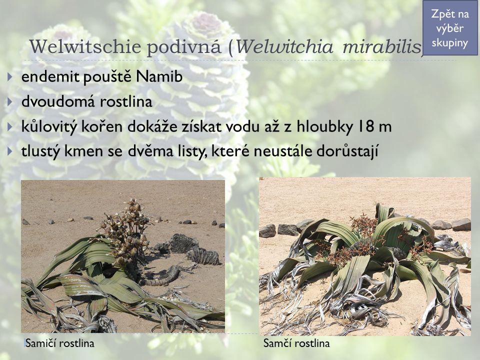 Welwitschie podivná ( Welwitchia mirabilis)  endemit pouště Namib  dvoudomá rostlina  kůlovitý kořen dokáže získat vodu až z hloubky 18 m  tlustý kmen se dvěma listy, které neustále dorůstají Samičí rostlina Samčí rostlina