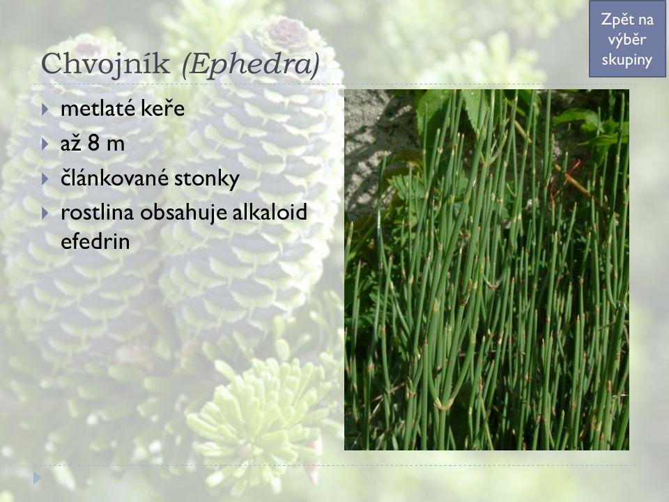 Chvojník (Ephedra)  metlaté keře  až 8 m  článkované stonky  rostlina obsahuje alkaloid efedrin