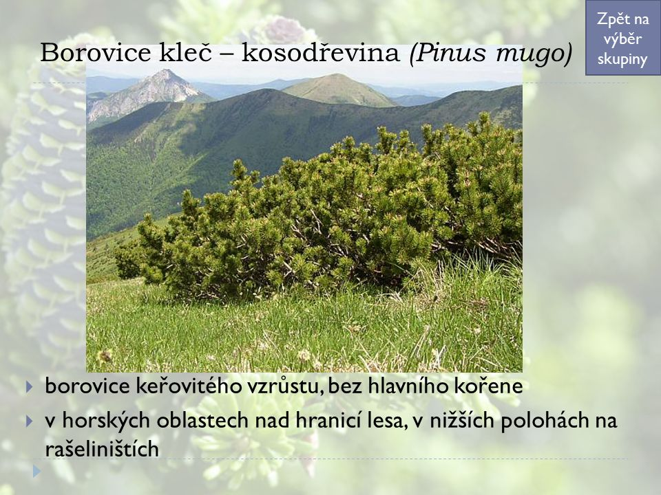 Borovice kleč – kosodřevina (Pinus mugo)  borovice keřovitého vzrůstu, bez hlavního kořene  v horských oblastech nad hranicí lesa, v nižších polohách na rašeliništích Zpět na výběr skupiny