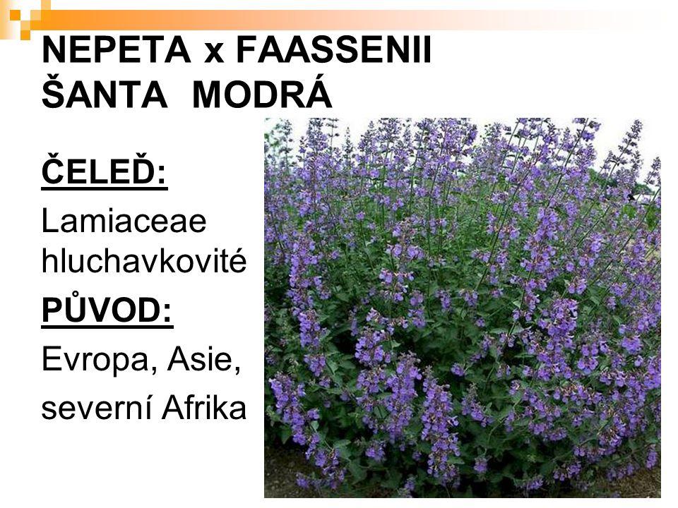NEPETA x FAASSENII ŠANTA MODRÁ ČELEĎ: Lamiaceae hluchavkovité PŮVOD: Evropa, Asie, severní Afrika