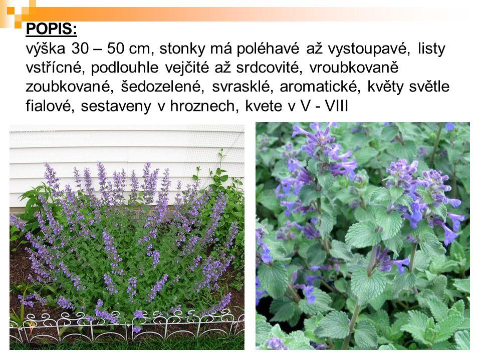 POPIS: výška 30 – 50 cm, stonky má poléhavé až vystoupavé, listy vstřícné, podlouhle vejčité až srdcovité, vroubkovaně zoubkované, šedozelené, svrasklé, aromatické, květy světle fialové, sestaveny v hroznech, kvete v V - VIII