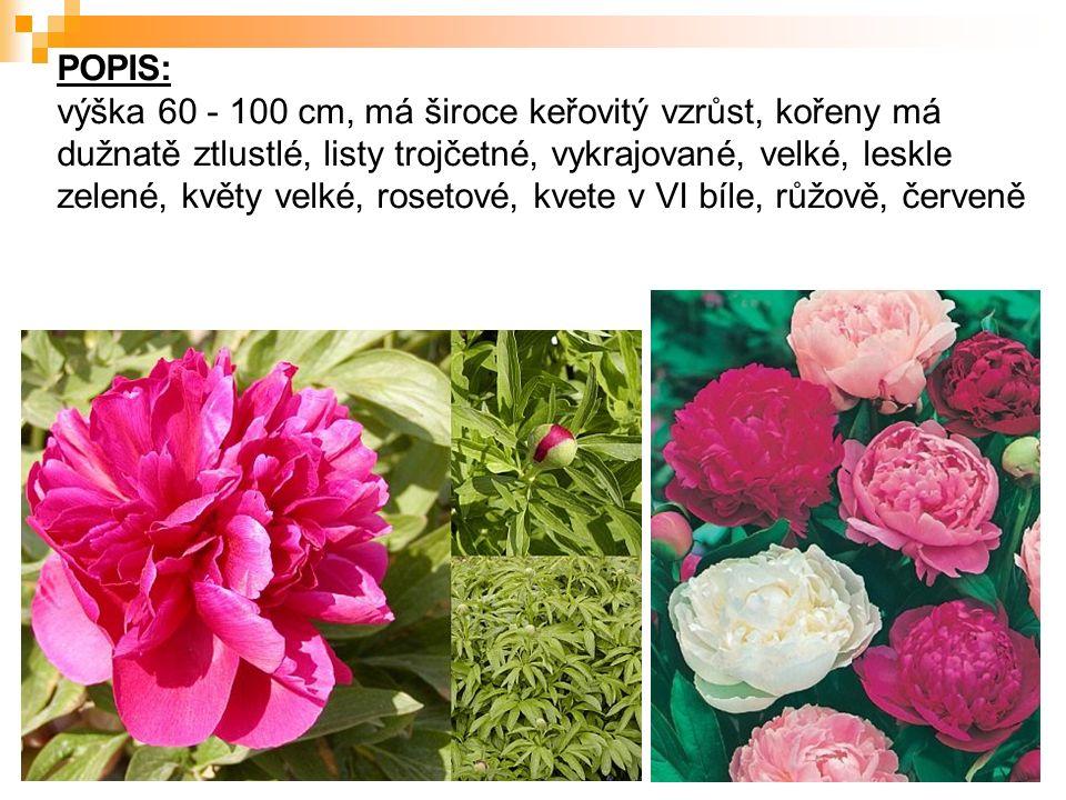 POPIS: výška 60 - 100 cm, má široce keřovitý vzrůst, kořeny má dužnatě ztlustlé, listy trojčetné, vykrajované, velké, leskle zelené, květy velké, rosetové, kvete v VI bíle, růžově, červeně