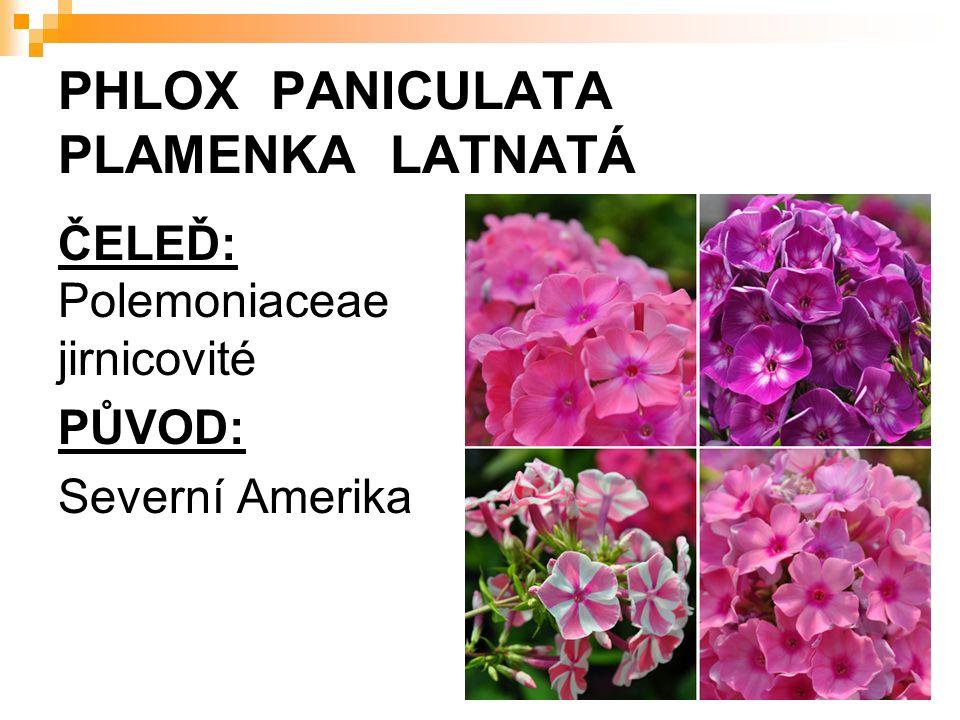PHLOX PANICULATA PLAMENKA LATNATÁ ČELEĎ: Polemoniaceae jirnicovité PŮVOD: Severní Amerika