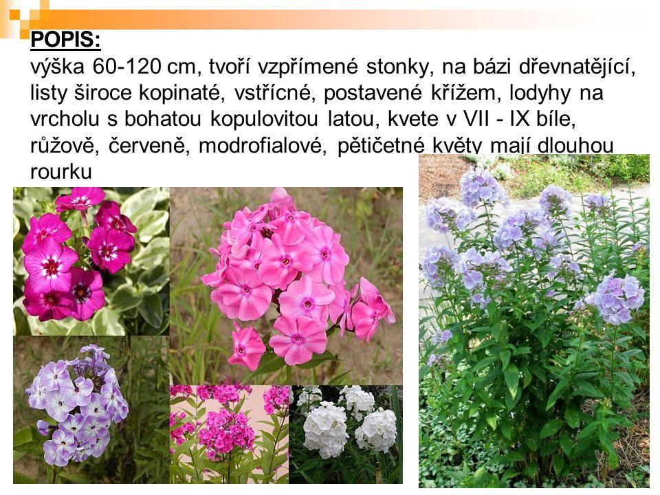 POPIS: výška 60-120 cm, tvoří vzpřímené stonky, na bázi dřevnatějící, listy široce kopinaté, vstřícné, postavené křížem, lodyhy na vrcholu s bohatou kopulovitou latou, kvete v VII - IX bíle, růžově, červeně, modrofialové, pětičetné květy mají dlouhou rourku