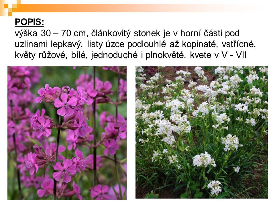 POPIS: výška 30 – 70 cm, článkovitý stonek je v horní části pod uzlinami lepkavý, listy úzce podlouhlé až kopinaté, vstřícné, květy růžové, bílé, jednoduché i plnokvěté, kvete v V - VII