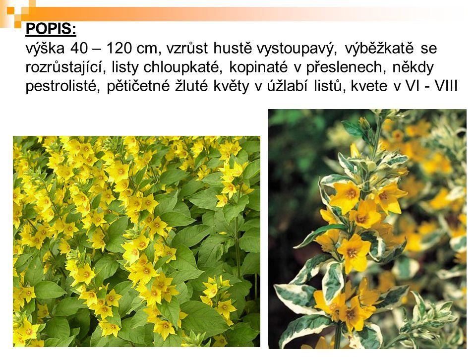 POPIS: výška 40 – 120 cm, vzrůst hustě vystoupavý, výběžkatě se rozrůstající, listy chloupkaté, kopinaté v přeslenech, někdy pestrolisté, pětičetné žluté květy v úžlabí listů, kvete v VI - VIII