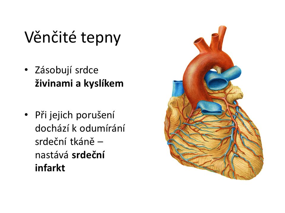 Věnčité tepny Zásobují srdce živinami a kyslíkem Při jejich porušení dochází k odumírání srdeční tkáně – nastává srdeční infarkt