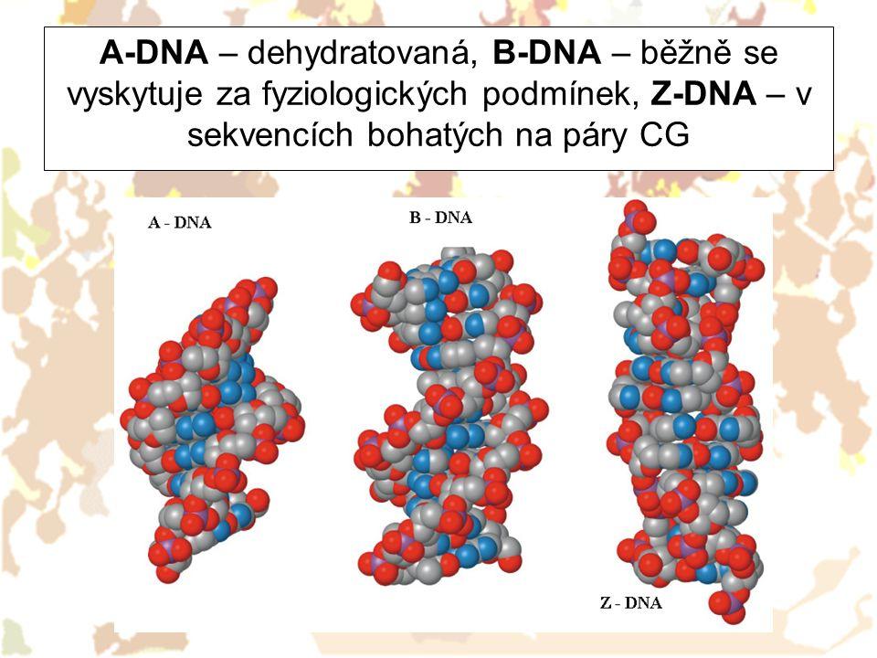 A-DNA – dehydratovaná, B-DNA – běžně se vyskytuje za fyziologických podmínek, Z-DNA – v sekvencích bohatých na páry CG