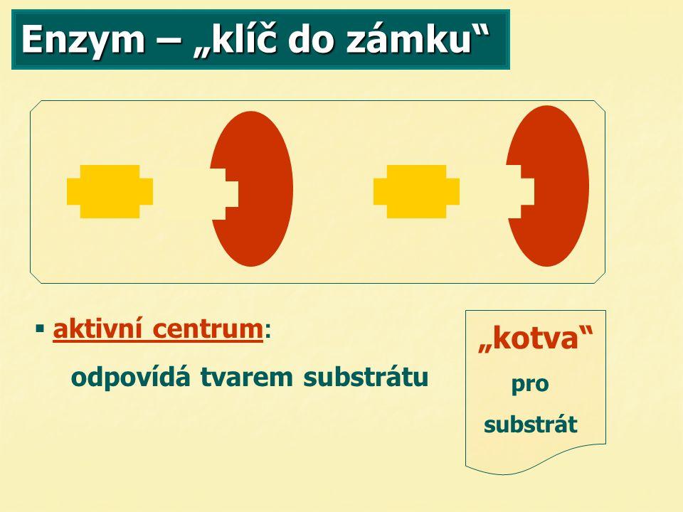 """Enzym – """"klíč do zámku """"kotva pro substrát   aktivní centrum : odpovídá tvarem substrátu"""