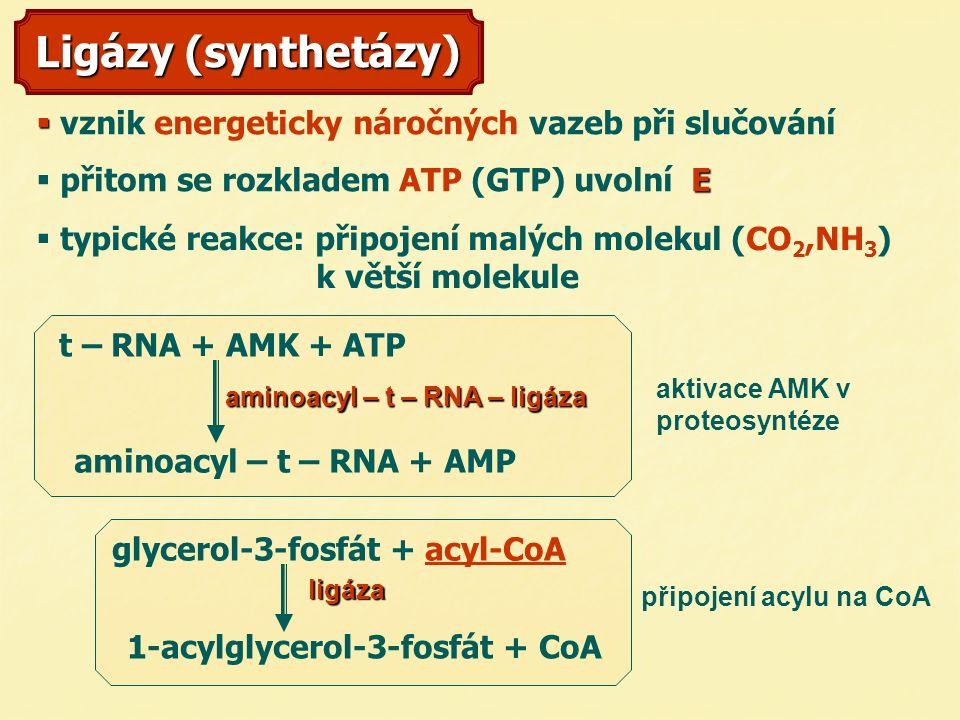 Ligázy (synthetázy)   v  vznik energeticky náročných vazeb při slučování   přitom se rozkladem ATP (GTP) uvolní E E E E t – RNA + AMK + ATP aminoacyl – t – RNA + AMP aminoacyl – t – RNA – ligáza 1-acylglycerol-3-fosfát + CoA glycerol-3-fosfát + acyl-CoAacyl-CoA ligáza   typické reakce: připojení malých molekul (CO 2,NH 3 ) k větší molekule připojení acylu na CoA aktivace AMK v proteosyntéze