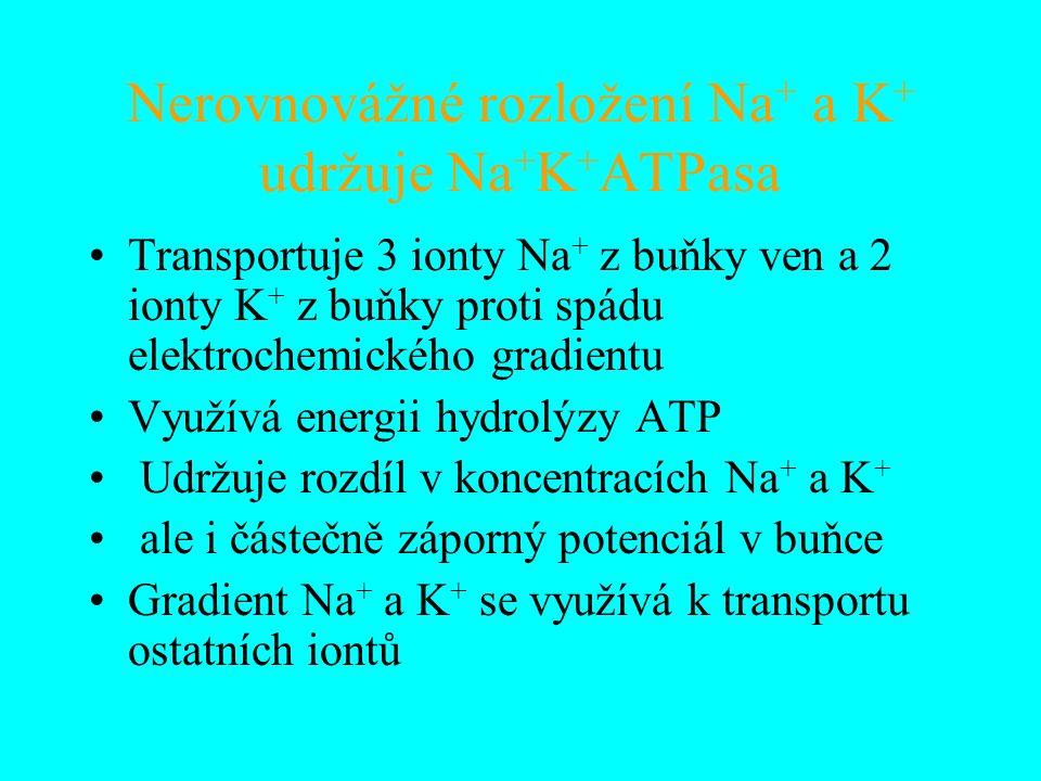 Nerovnovážné rozložení Na + a K + udržuje Na + K + ATPasa Transportuje 3 ionty Na + z buňky ven a 2 ionty K + z buňky proti spádu elektrochemického gradientu Využívá energii hydrolýzy ATP Udržuje rozdíl v koncentracích Na + a K + ale i částečně záporný potenciál v buňce Gradient Na + a K + se využívá k transportu ostatních iontů