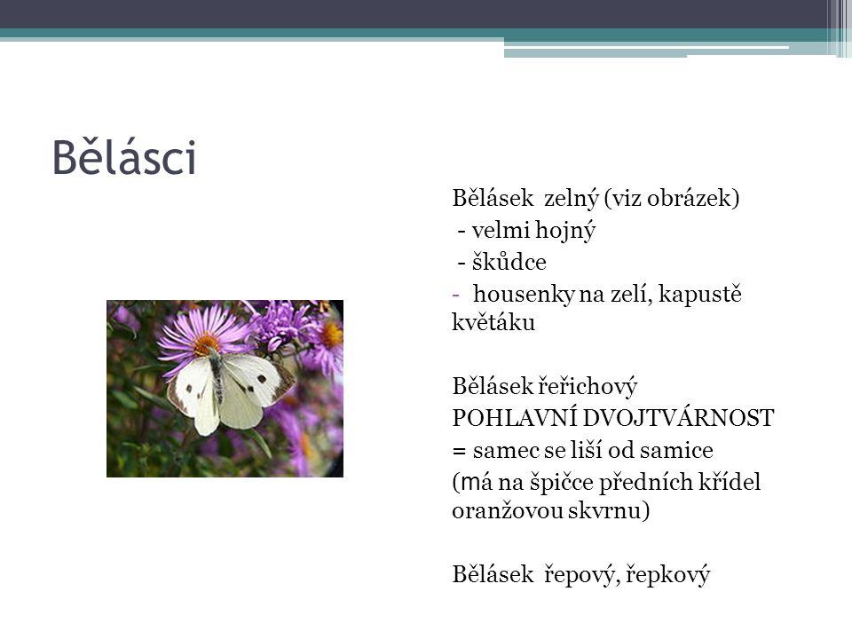 Bělásci Bělásek zelný (viz obrázek) - velmi hojný - škůdce - housenky na zelí, kapustě květáku Bělásek řeřichový POHLAVNÍ DVOJTVÁRNOST = samec se liší od samice ( m á na špičce předních křídel oranžovou skvrnu) Bělásek řepový, řepkový