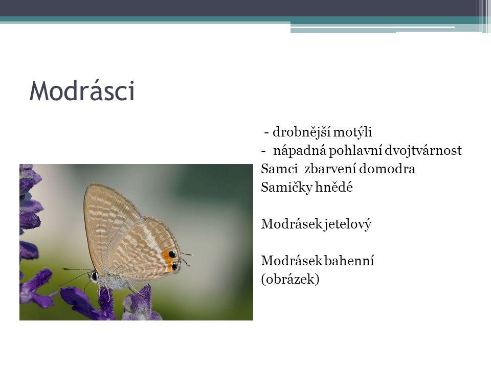 Modrásci - drobnější motýli - nápadná pohlavní dvojtvárnost Samci zbarvení domodra Samičky hnědé Modrásek jetelový Modrásek bahenní (obrázek)