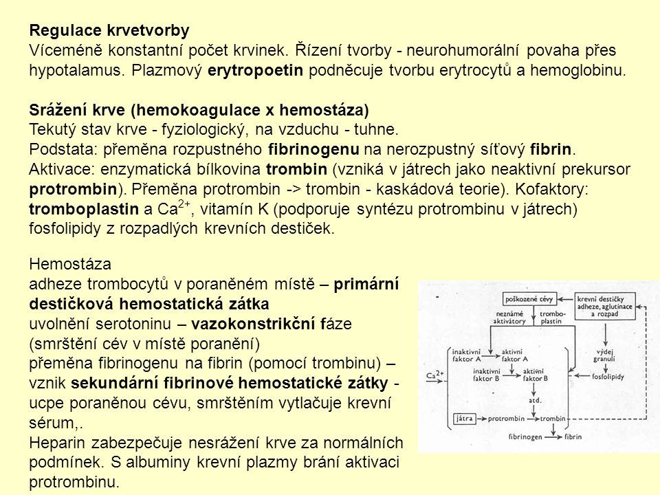 Hemostáza adheze trombocytů v poraněném místě – primární destičková hemostatická zátka uvolnění serotoninu – vazokonstrikční fáze (smrštění cév v místě poranění) přeměna fibrinogenu na fibrin (pomocí trombinu) – vznik sekundární fibrinové hemostatické zátky - ucpe poraněnou cévu, smrštěním vytlačuje krevní sérum,.