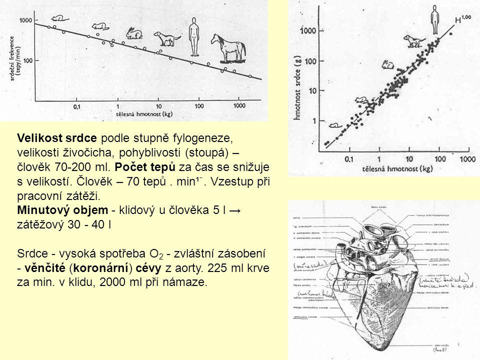 Velikost srdce podle stupně fylogeneze, velikosti živočicha, pohyblivosti (stoupá) – člověk 70-200 ml.