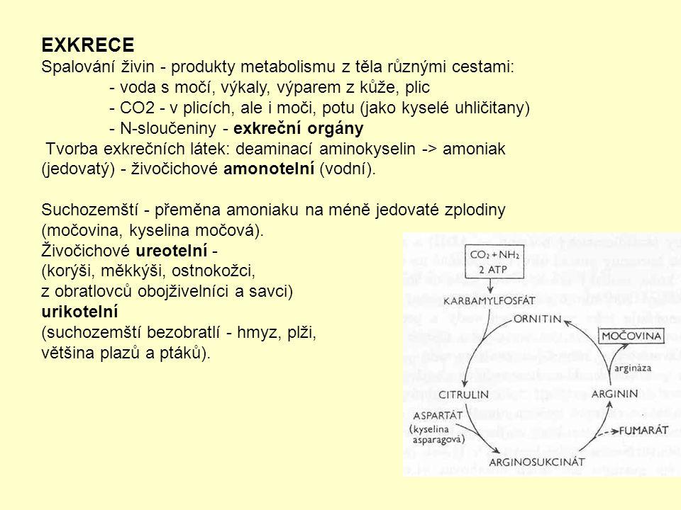 EXKRECE Spalování živin - produkty metabolismu z těla různými cestami: - voda s močí, výkaly, výparem z kůže, plic - CO2 - v plicích, ale i moči, potu (jako kyselé uhličitany) - N-sloučeniny - exkreční orgány Tvorba exkrečních látek: deaminací aminokyselin -> amoniak (jedovatý) - živočichové amonotelní (vodní).