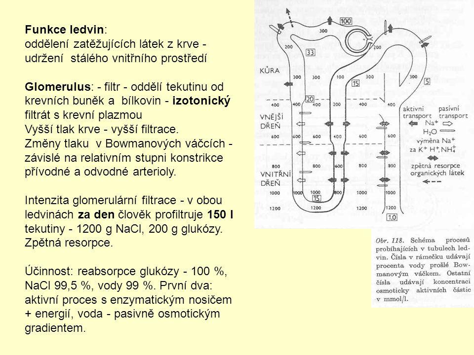 Funkce ledvin: oddělení zatěžujících látek z krve - udržení stálého vnitřního prostředí Glomerulus: - filtr - oddělí tekutinu od krevních buněk a bílkovin - izotonický filtrát s krevní plazmou Vyšší tlak krve - vyšší filtrace.