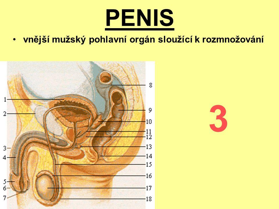 PENIS vnější mužský pohlavní orgán sloužící k rozmnožování 3