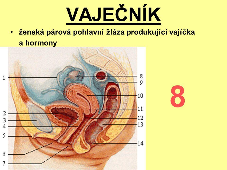 VAJEČNÍK ženská párová pohlavní žláza produkující vajíčka a hormony 8