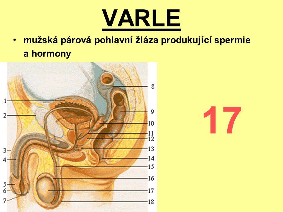 VARLE mužská párová pohlavní žláza produkující spermie a hormony 17