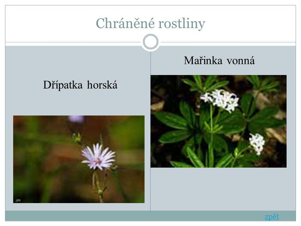 Chráněné rostliny Dřípatka horská Mařinka vonná zpět