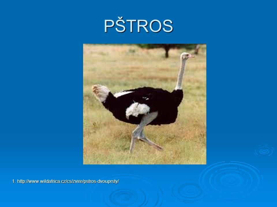 PŠTROS 1. http://www.wildafrica.cz/cs/zvire/pstros-dvouprsty/