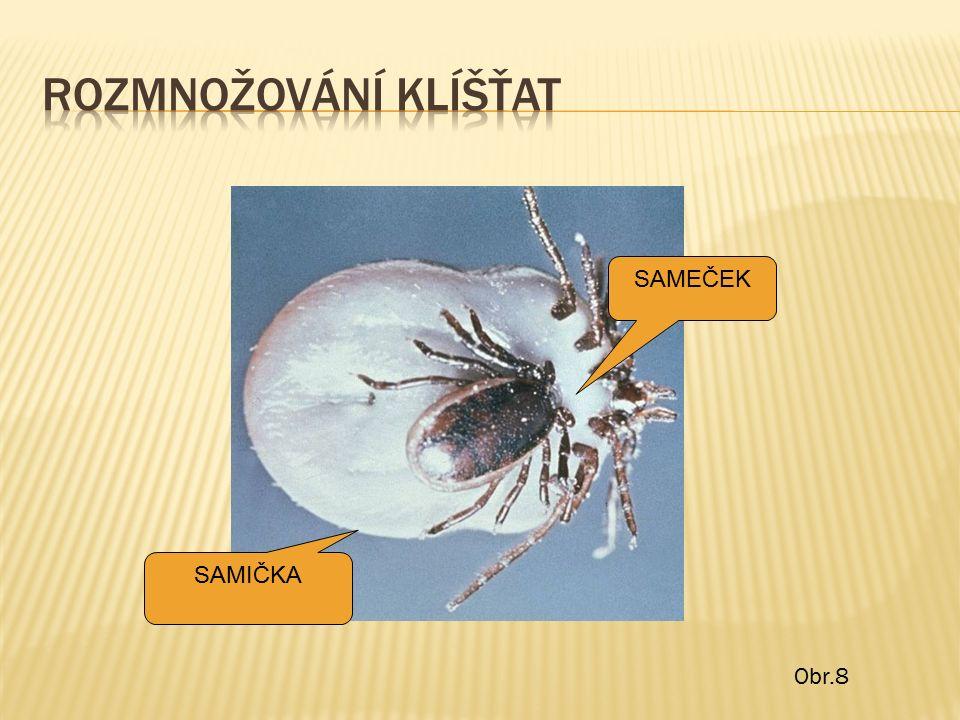 SAMEČEK SAMIČKA Obr.8